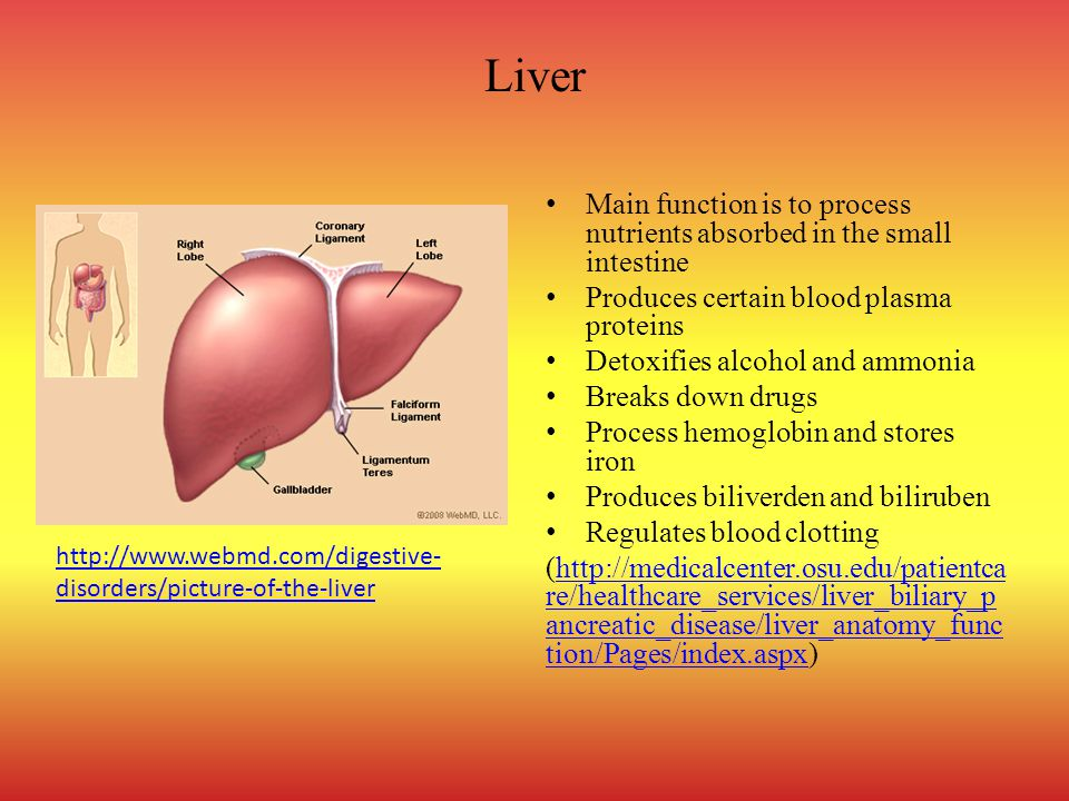 Liver Main function is to process nutrients absorbed in the small intestine. Produces certain blood plasma proteins.