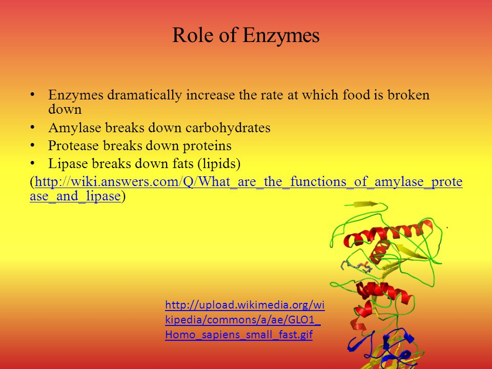 Role of Enzymes Enzymes dramatically increase the rate at which food is broken down. Amylase breaks down carbohydrates.