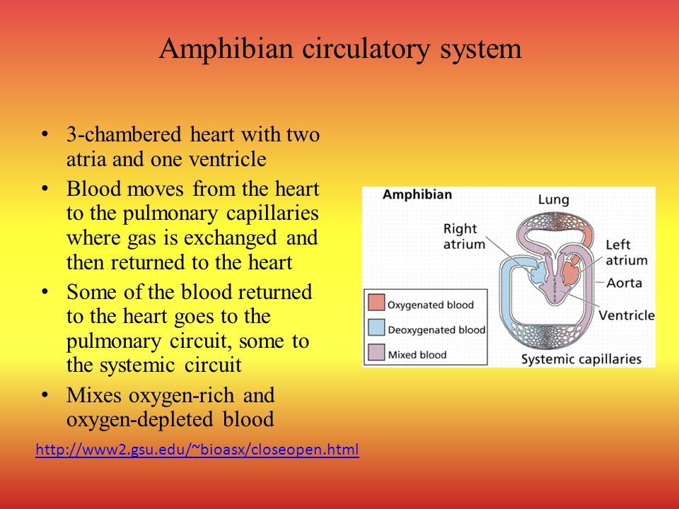 Amphibian circulatory system