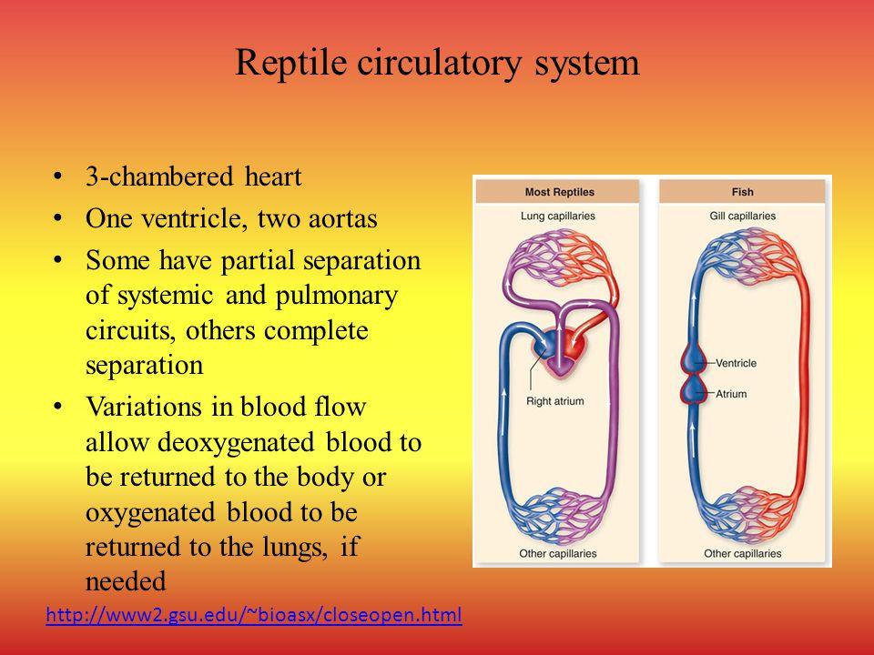 Reptile circulatory system