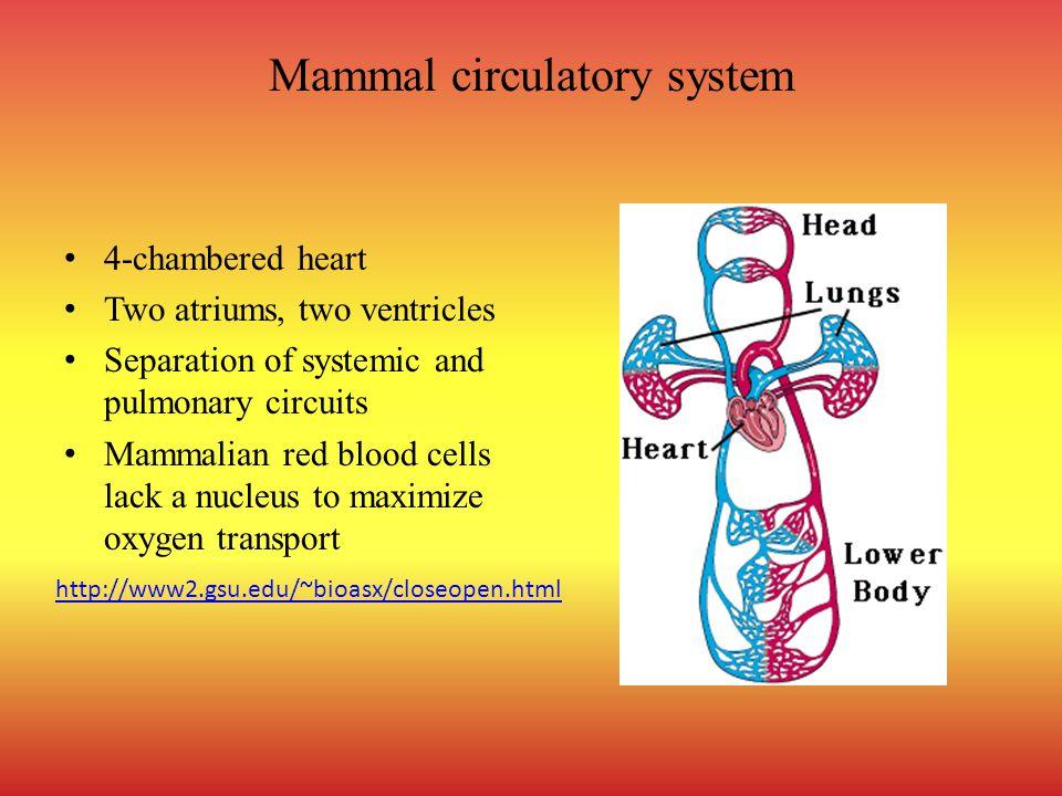 Mammal circulatory system