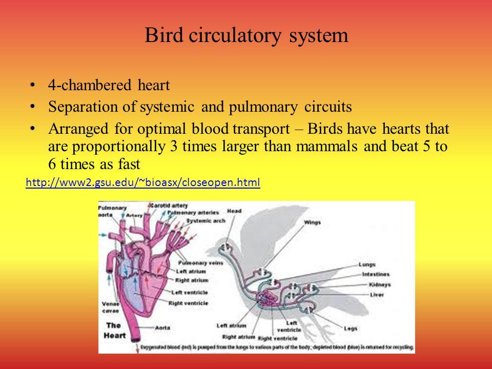 Bird circulatory system