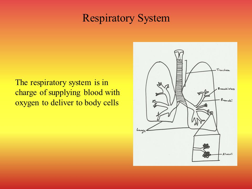 Respiratory System The respiratory system is in charge of supplying blood with oxygen to deliver to body cells.