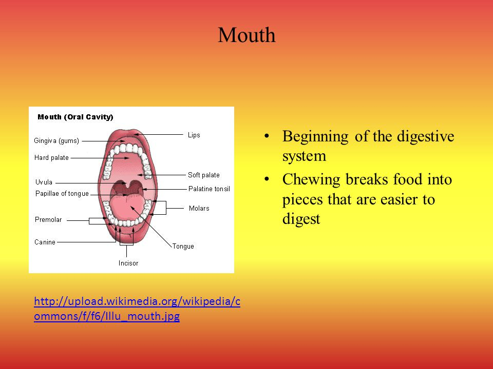 Mouth Beginning of the digestive system