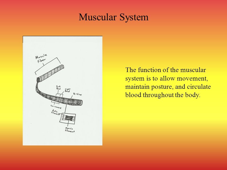Muscular System The function of the muscular system is to allow movement, maintain posture, and circulate blood throughout the body.