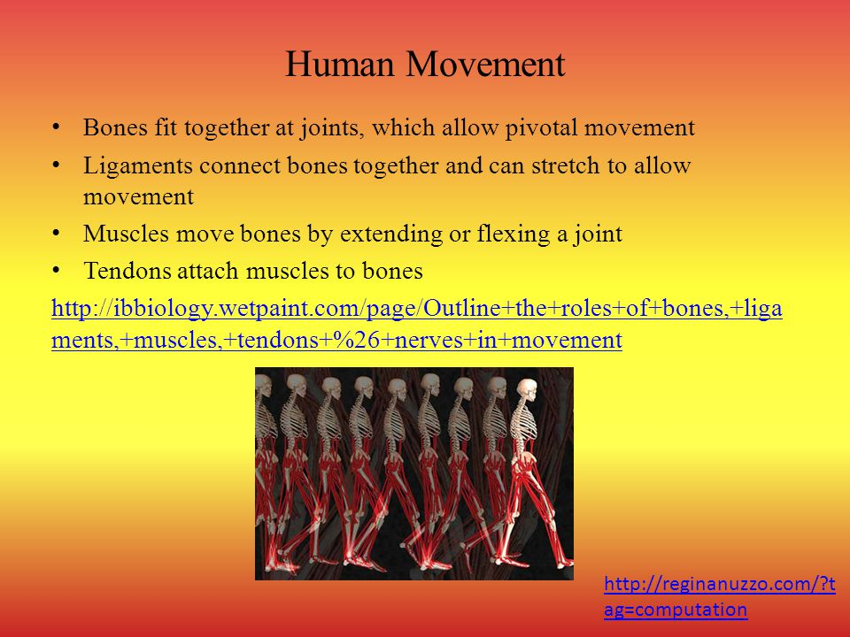 Human Movement Bones fit together at joints, which allow pivotal movement. Ligaments connect bones together and can stretch to allow movement.