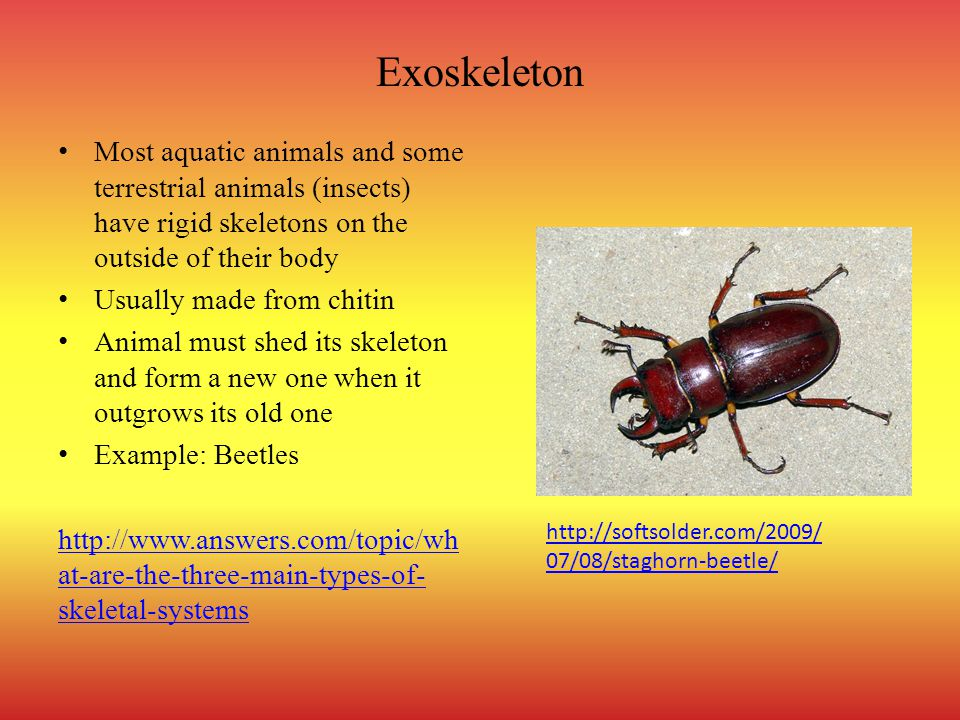 Exoskeleton Most aquatic animals and some terrestrial animals (insects) have rigid skeletons on the outside of their body.