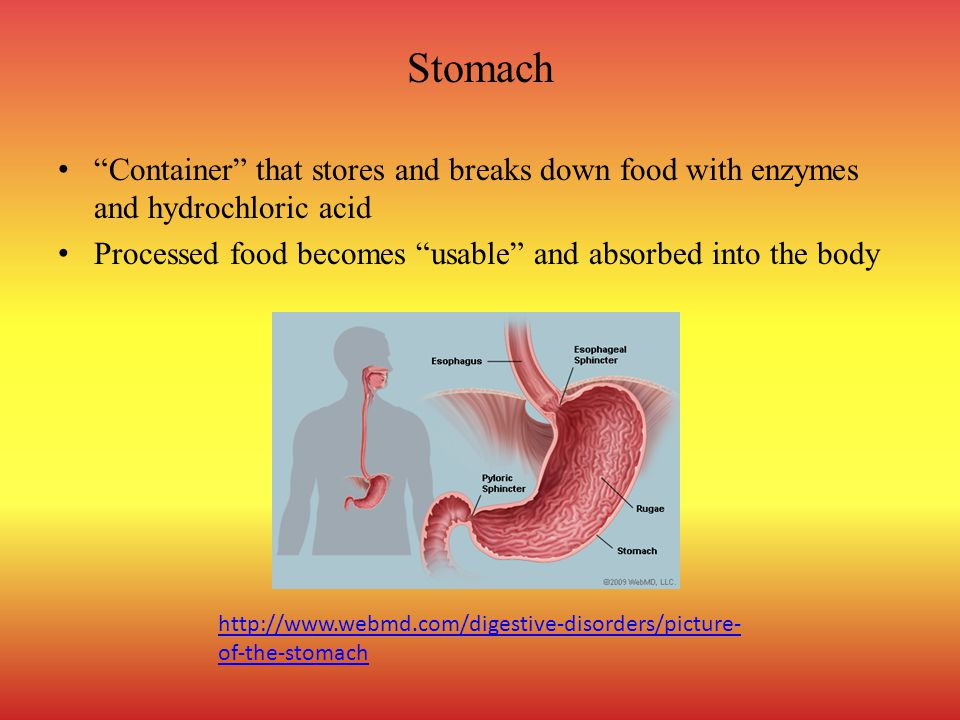 Stomach Container that stores and breaks down food with enzymes and hydrochloric acid. Processed food becomes usable and absorbed into the body.