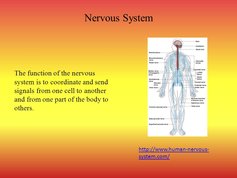 Nervous System The function of the nervous system is to coordinate and send signals from one cell to another and from one part of the body to others.