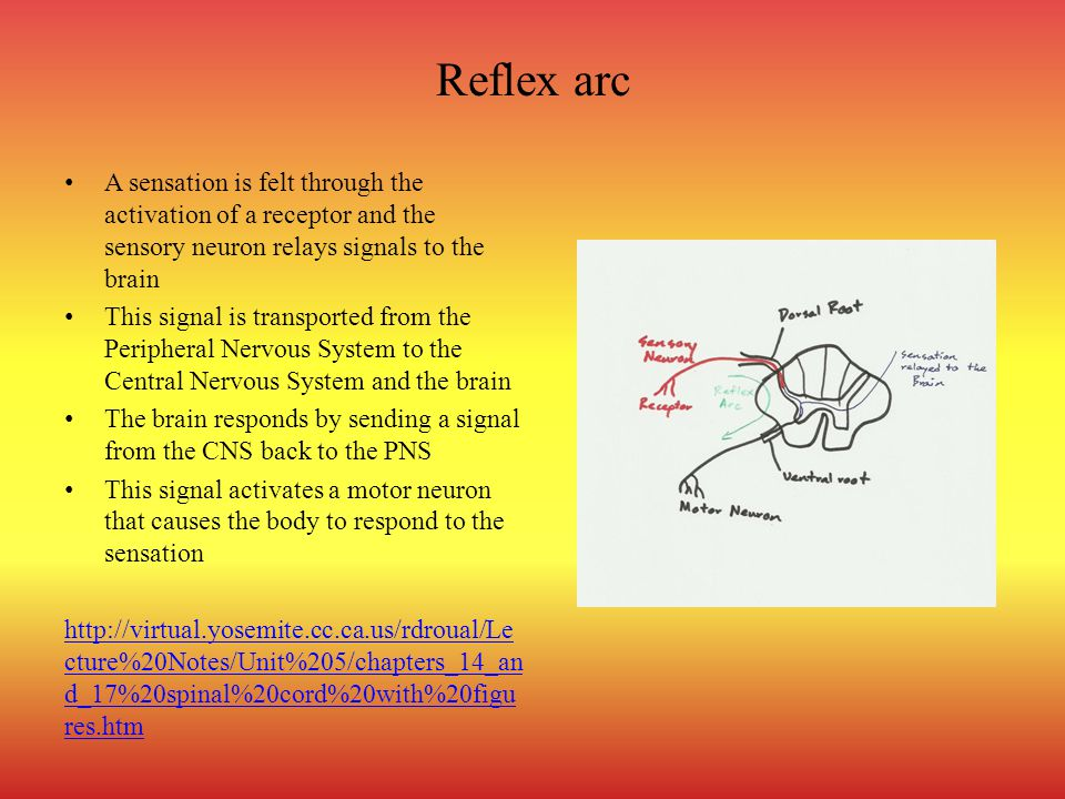 Reflex arc A sensation is felt through the activation of a receptor and the sensory neuron relays signals to the brain.