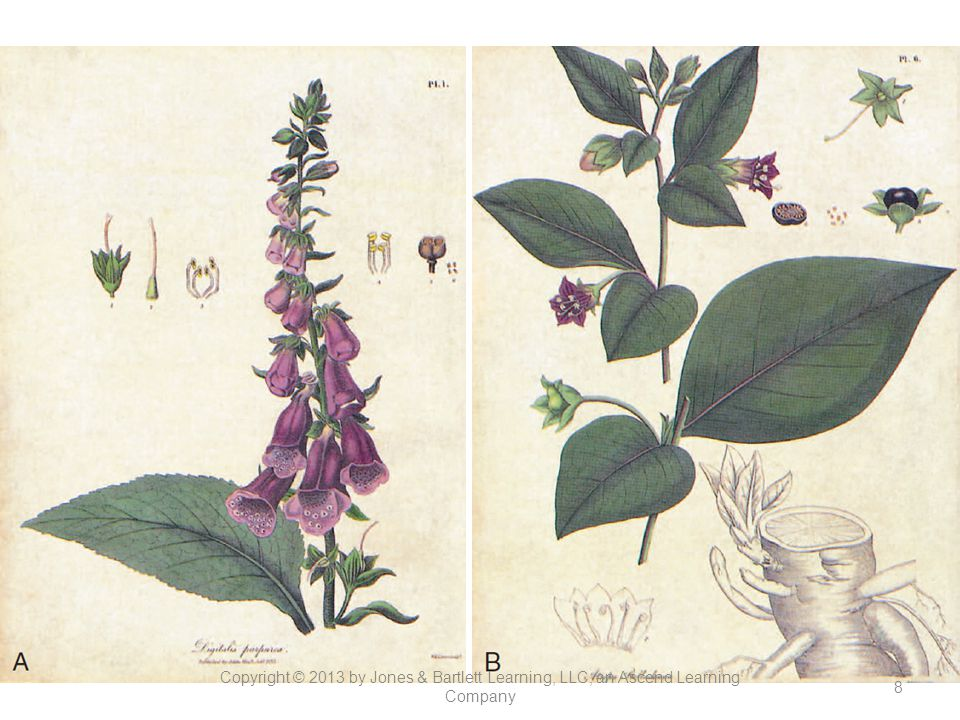 Figure 13-1. (A) Foxglove and (B) deadly nightshade