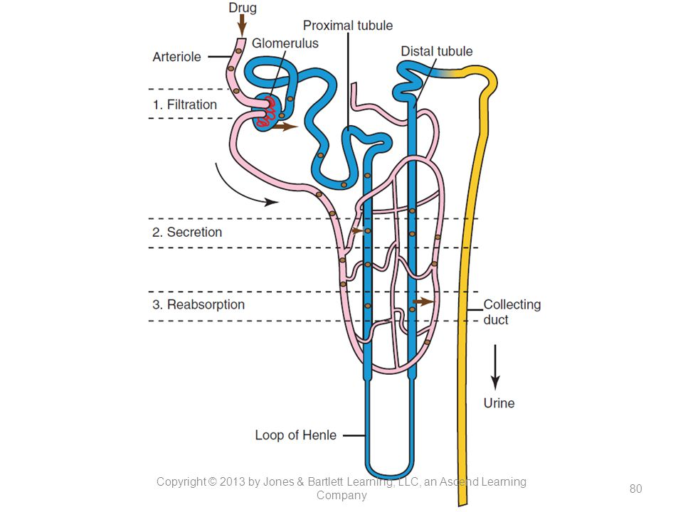 Figure 13-3. Drug excretion process.
