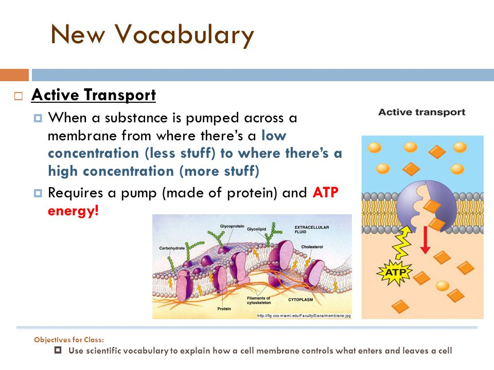 New Vocabulary Active Transport