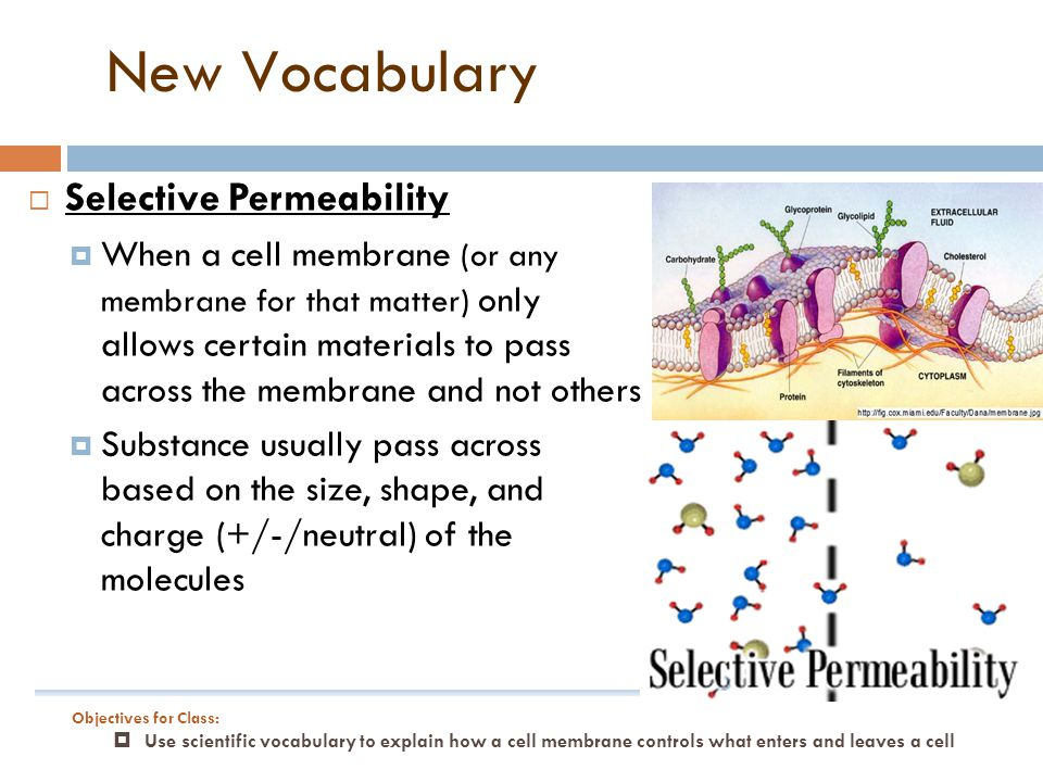 New Vocabulary Selective Permeability
