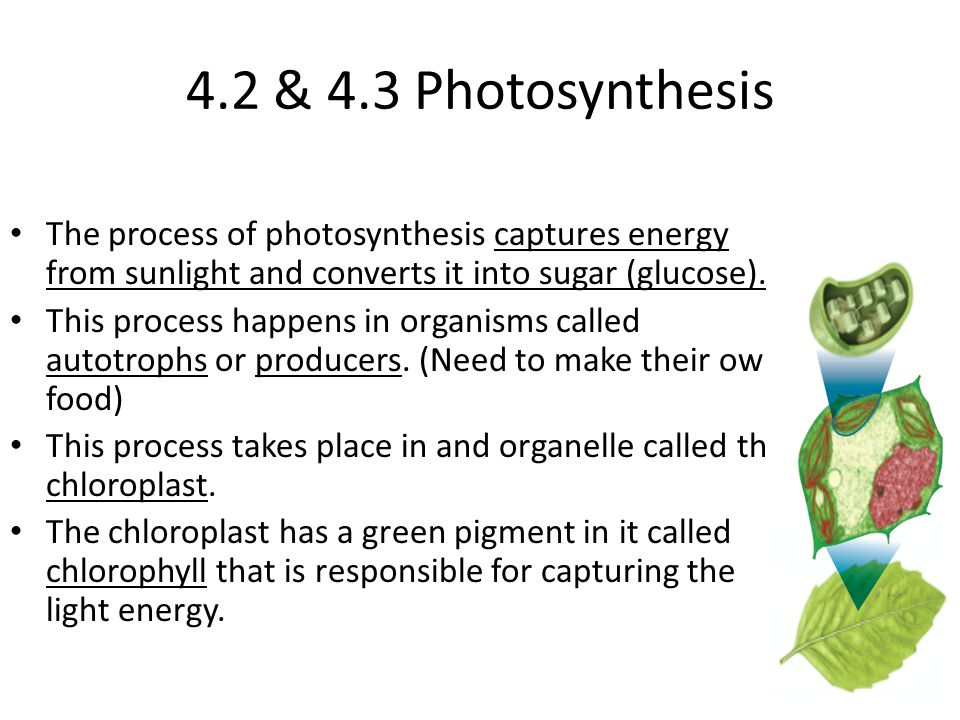 4.2 & 4.3 Photosynthesis The process of photosynthesis captures energy from sunlight and converts it into sugar (glucose).