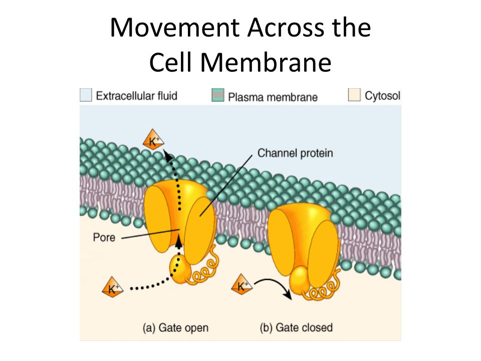 Movement Across the Cell Membrane
