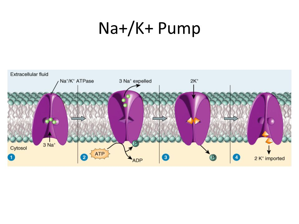 Na+/K+ Pump