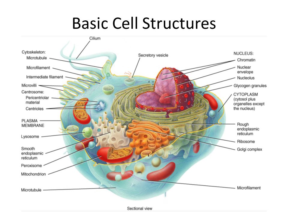 Basic Cell Structures