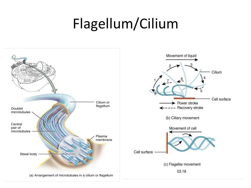 Flagellum/Cilium