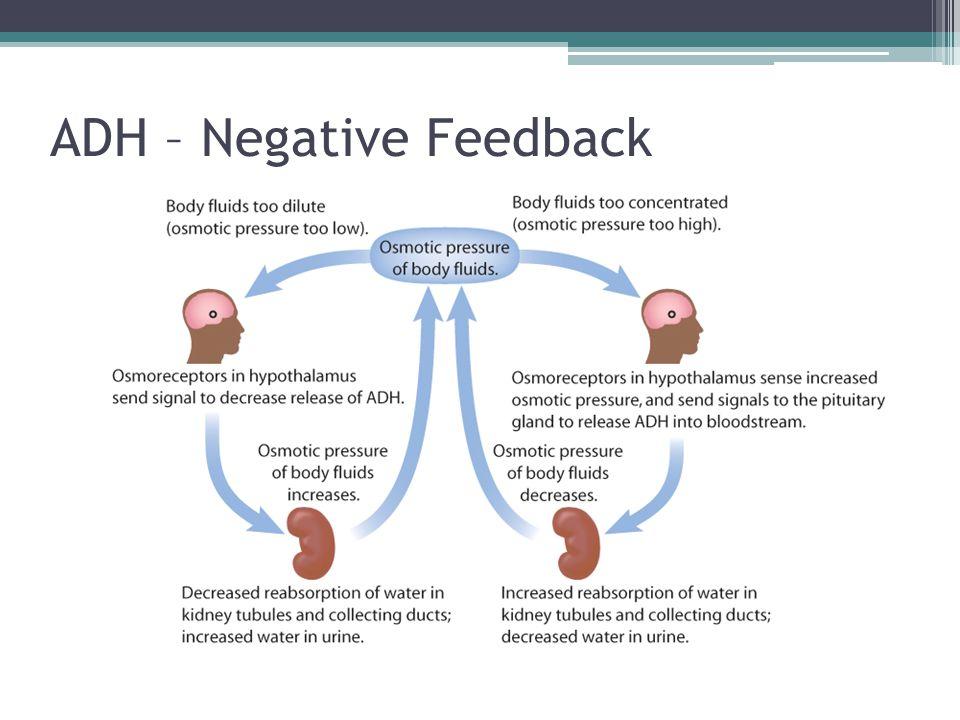 ADH – Negative Feedback