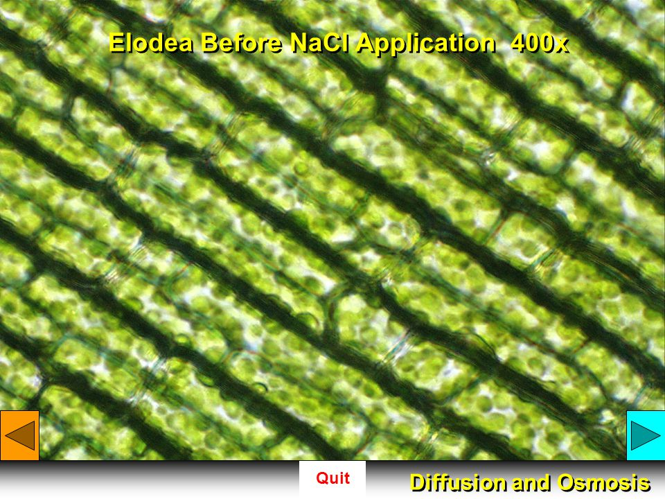 Elodea Before NaCl Application 400x