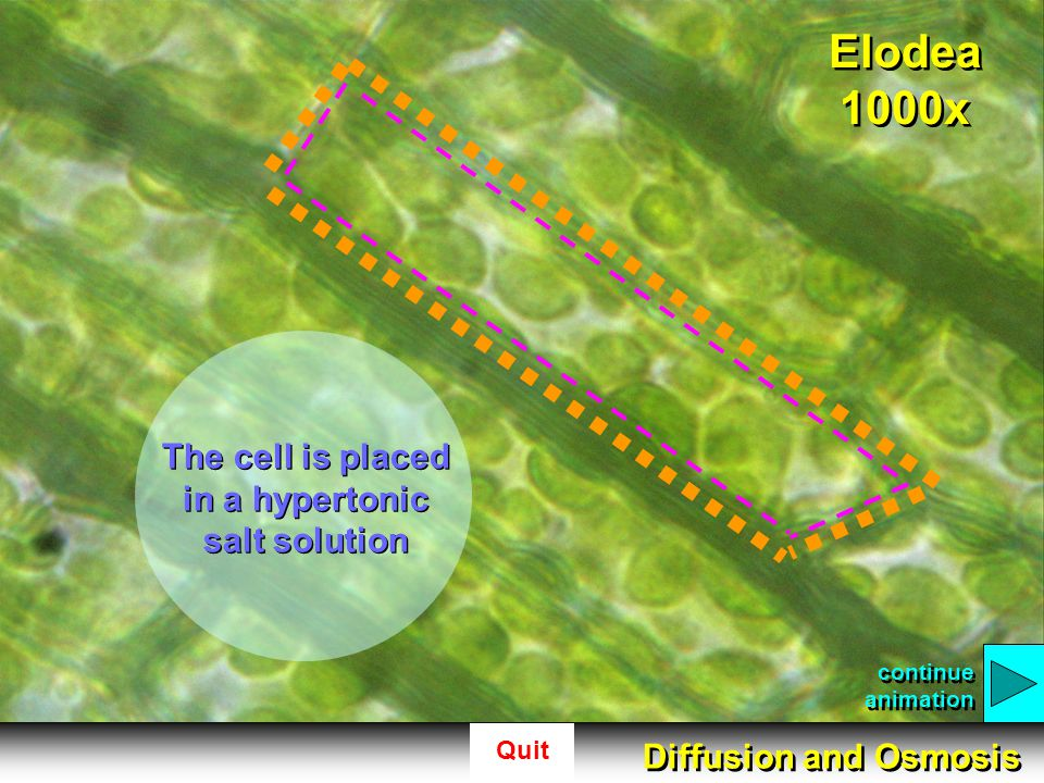 The cell is placed in a hypertonic salt solution