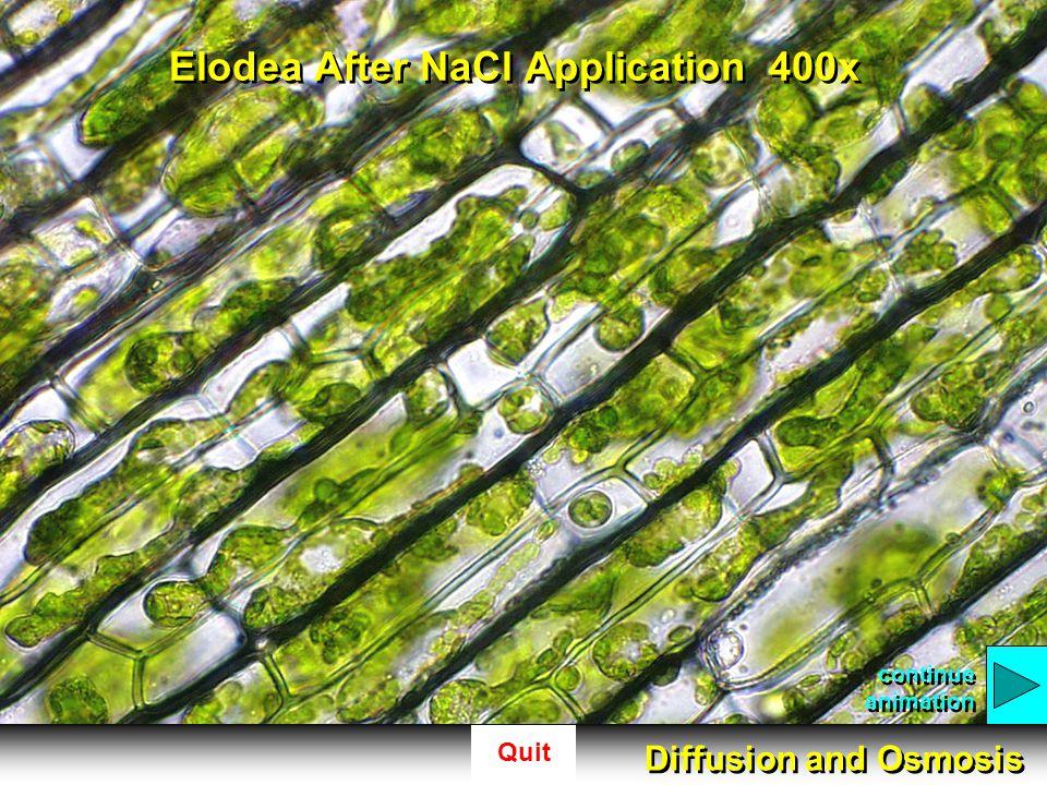 Elodea After NaCl Application 400x
