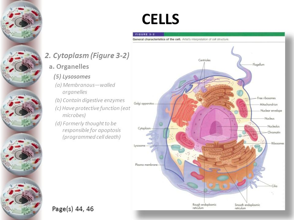 CELLS 2. Cytoplasm (Figure 3-2) a. Organelles Page(s) 44, 46