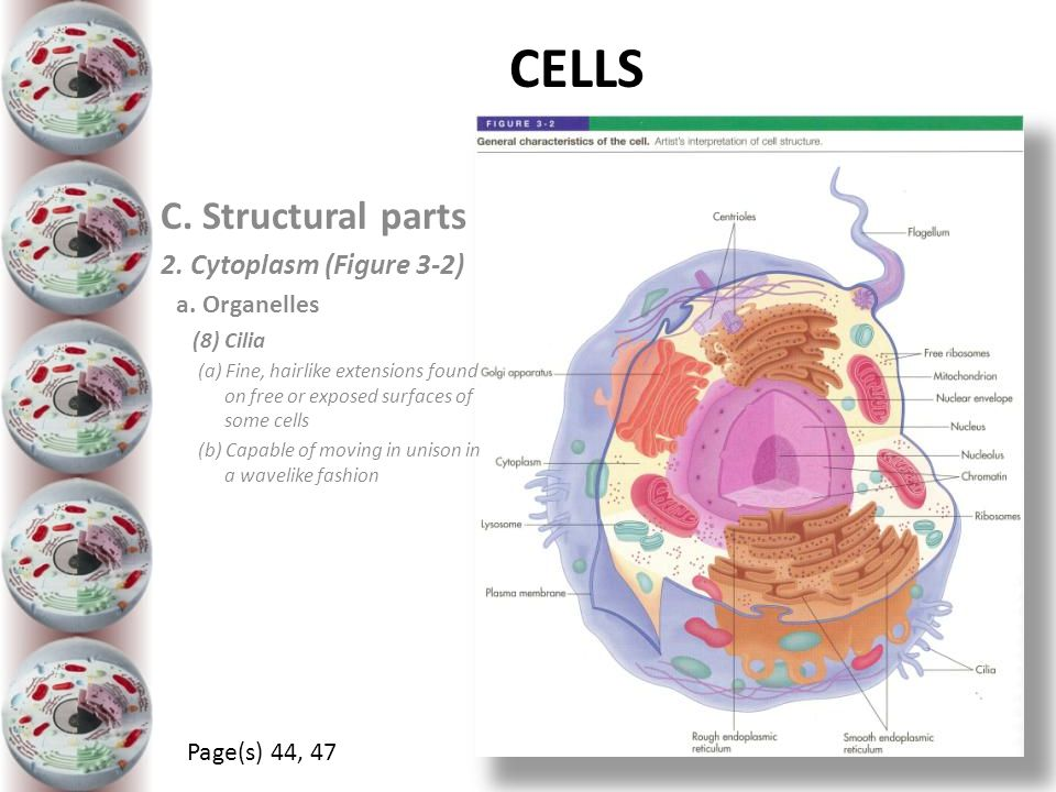 CELLS C. Structural parts 2. Cytoplasm (Figure 3-2) a. Organelles