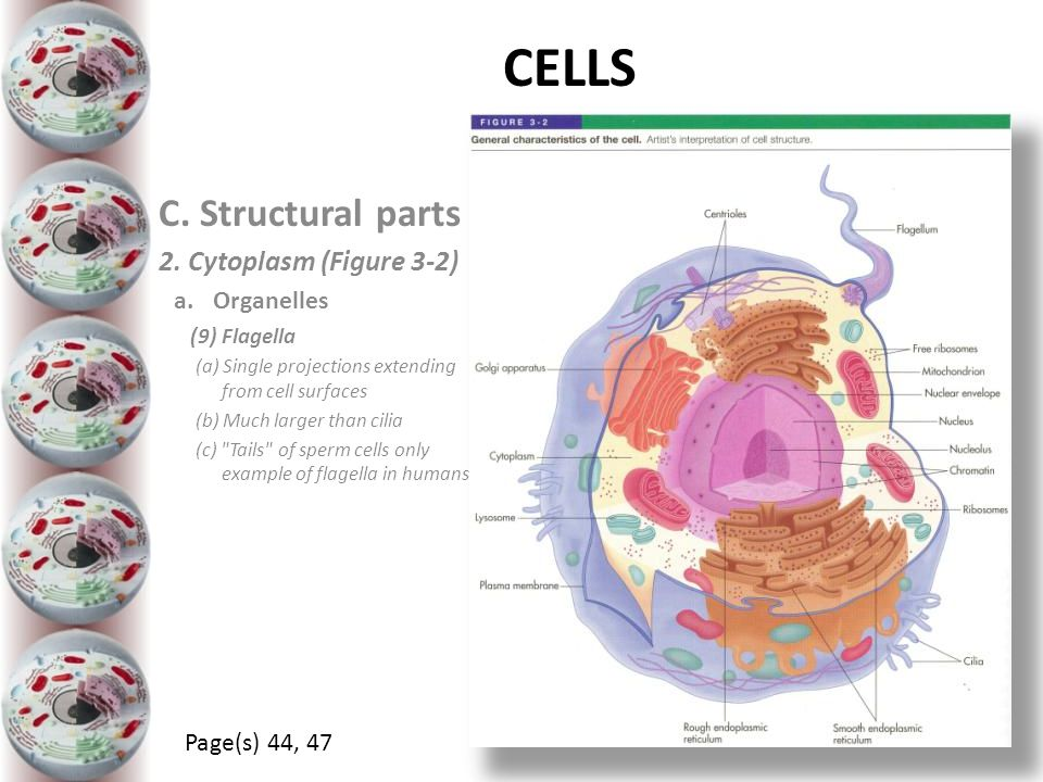 CELLS C. Structural parts 2. Cytoplasm (Figure 3-2) Organelles