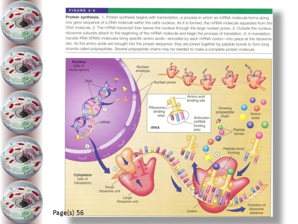 CELL REPRODUCTION Page(s) 56