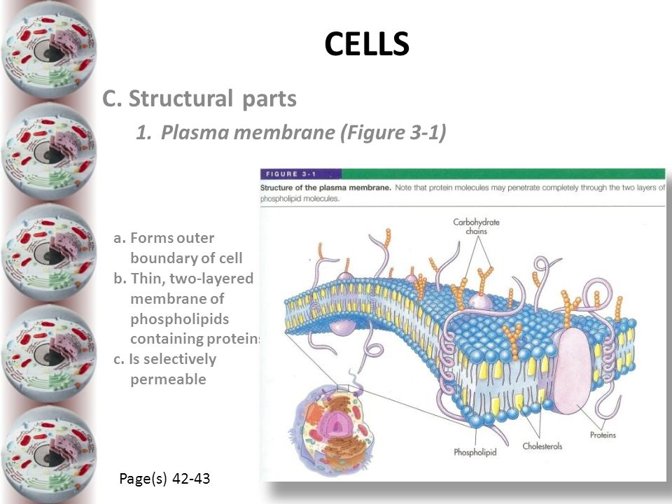 CELLS C. Structural parts Plasma membrane (Figure 3-1)