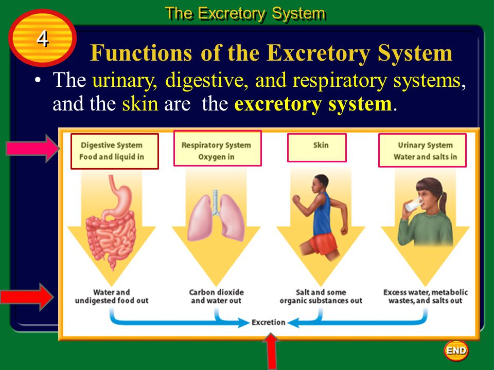 Functions of the Excretory System