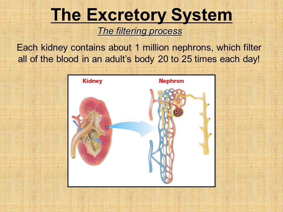 The Excretory System The filtering process