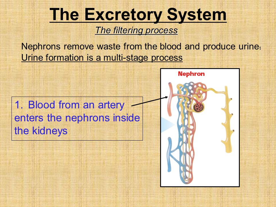 The Excretory System Blood from an artery enters the nephrons inside