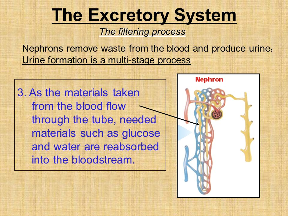 The Excretory System The filtering process. Nephrons remove waste from the blood and produce urine.