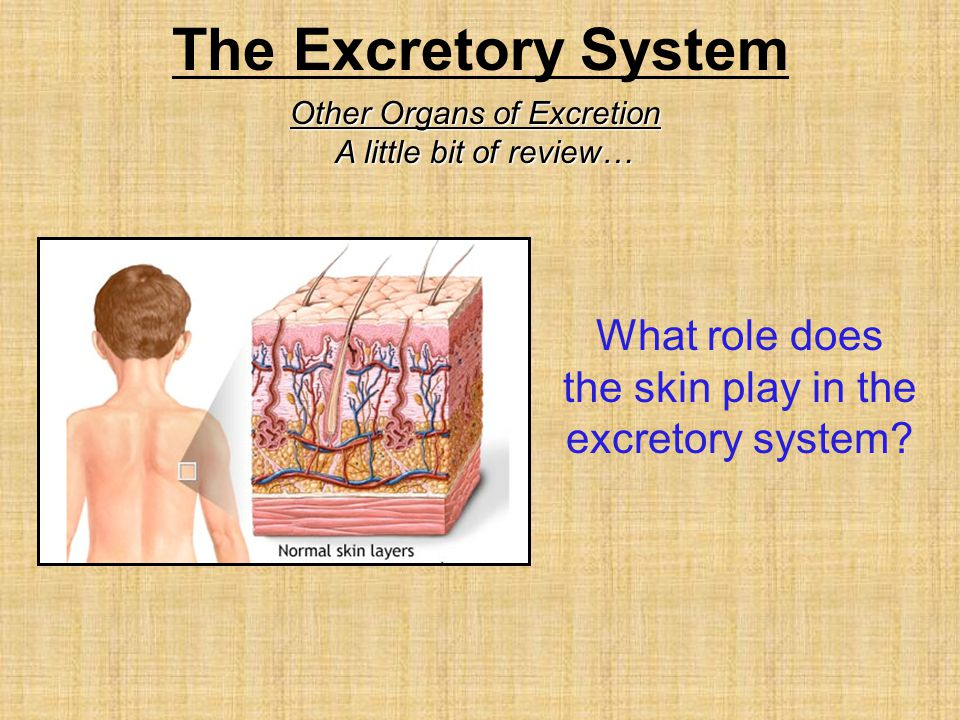 What role does the skin play in the excretory system