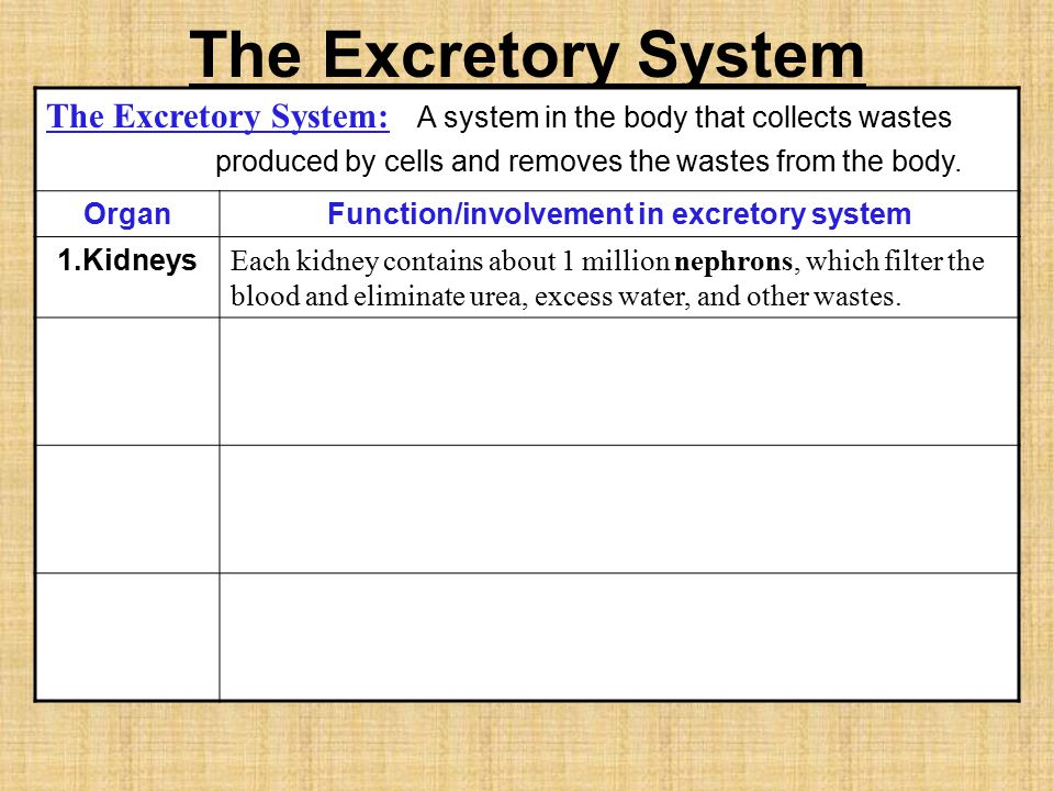Function/involvement in excretory system