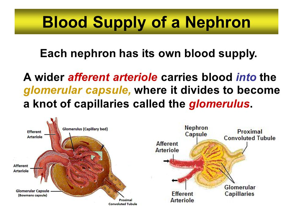 Blood Supply of a Nephron