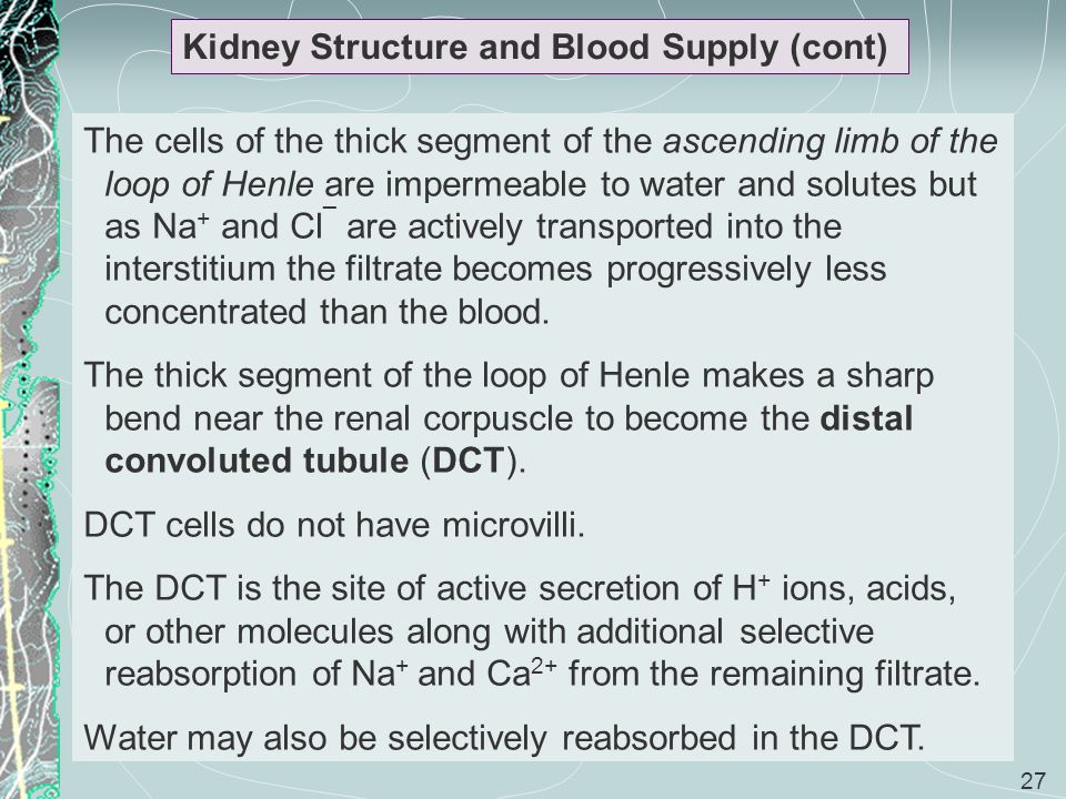 Kidney Structure and Blood Supply (cont)