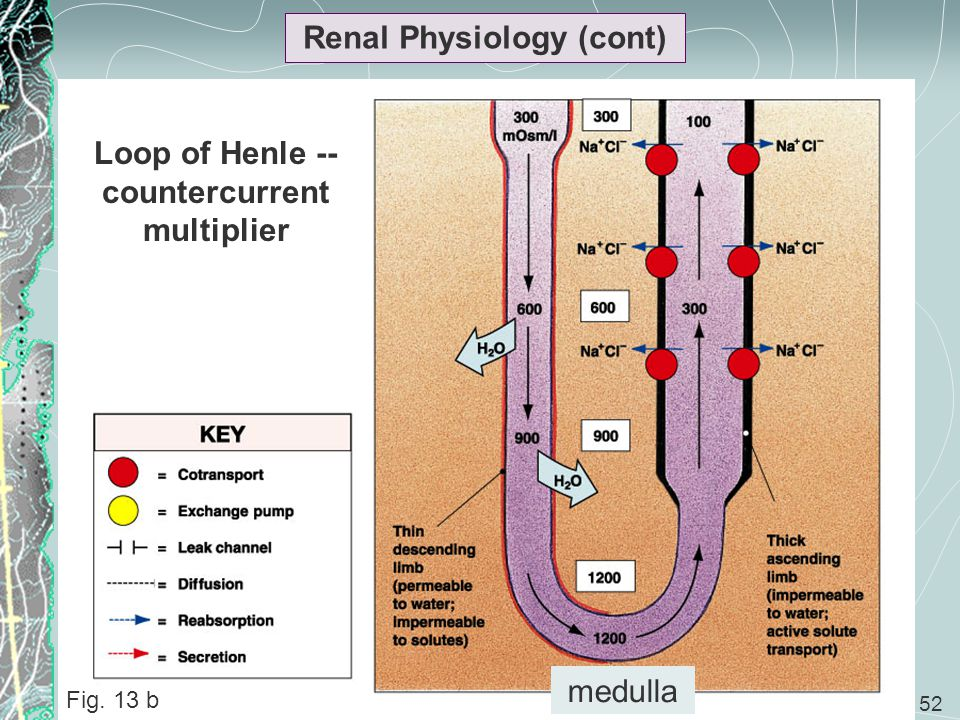 Renal Physiology (cont) Loop of Henle --countercurrent multiplier