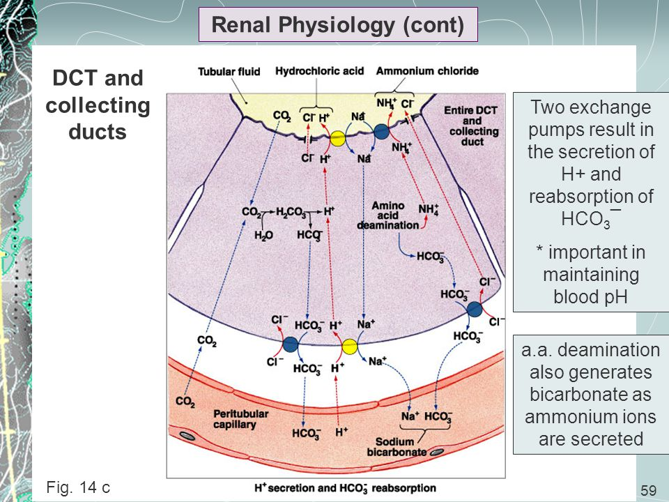 Renal Physiology (cont) DCT and collecting ducts