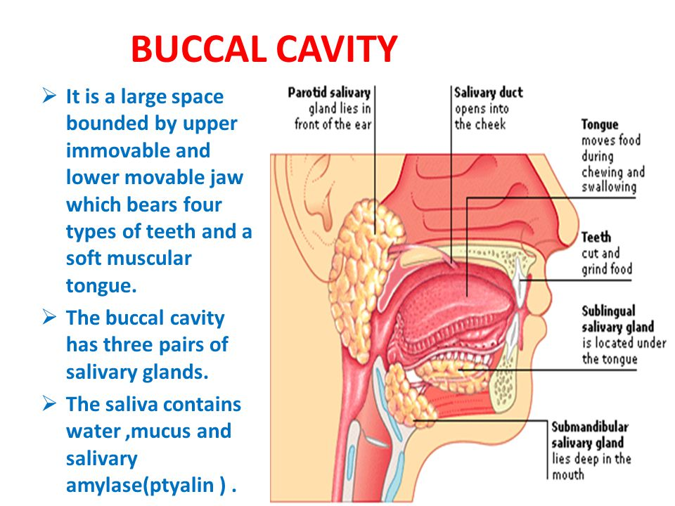 BUCCAL CAVITY It is a large space bounded by upper immovable and lower movable jaw which bears four types of teeth and a soft muscular tongue.