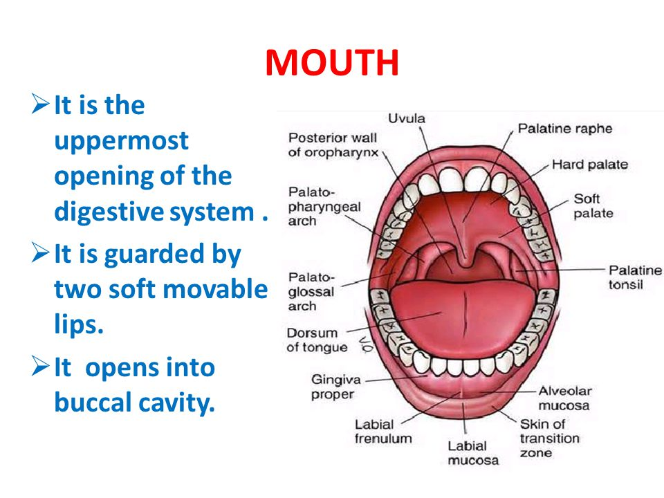 MOUTH It is the uppermost opening of the digestive system .