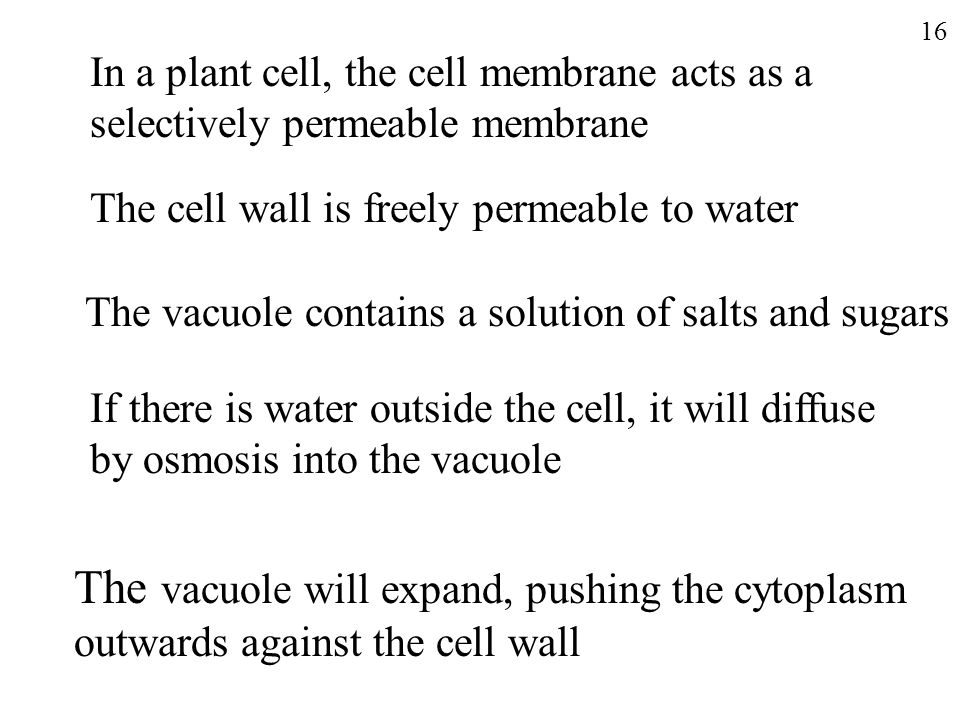The vacuole will expand, pushing the cytoplasm