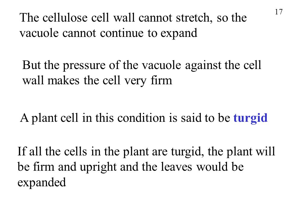 The cellulose cell wall cannot stretch, so the