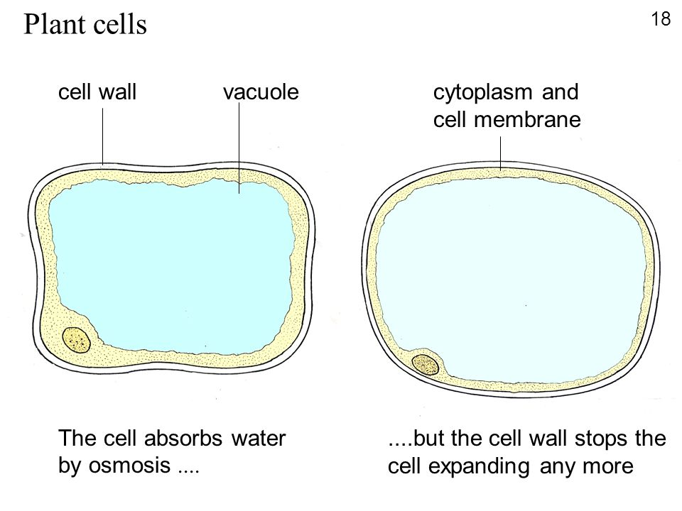 Plant cells cell wall vacuole cytoplasm and cell membrane