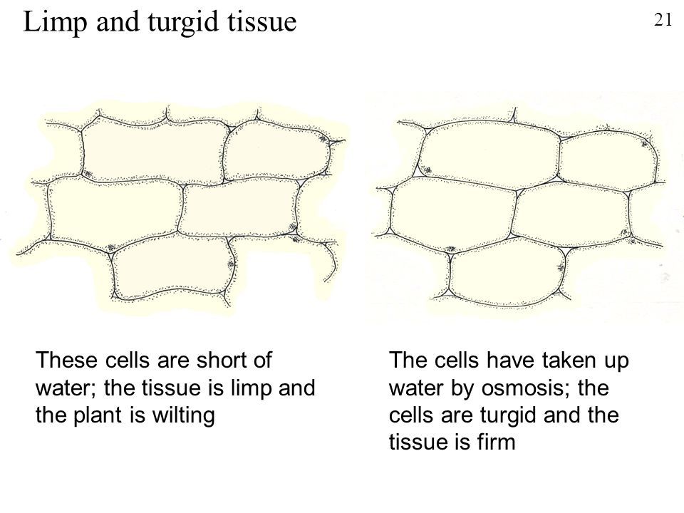 Limp and turgid tissue 21. These cells are short of water; the tissue is limp and the plant is wilting.