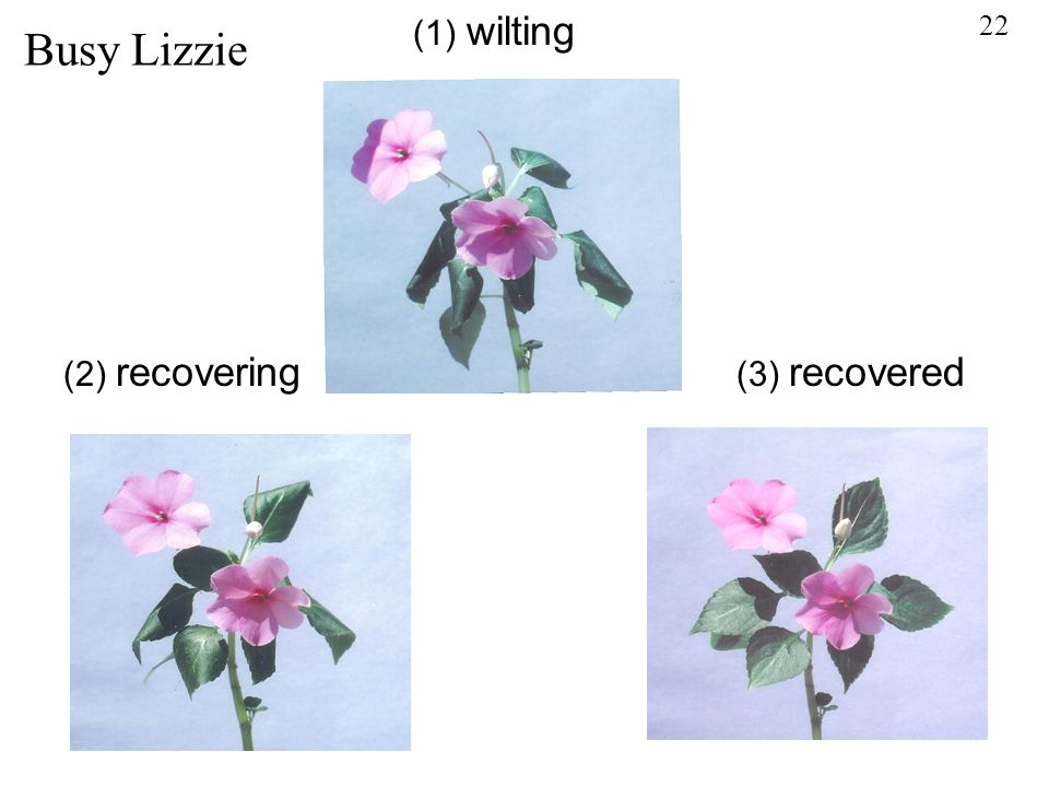 Busy Lizzie (1) wilting (2) recovering (3) recovered 22