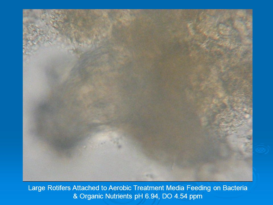 Rotifers attached to aerobic media feeding on bacteria and organic matter.